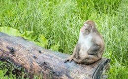 Małpa przy safari parkiem Zdjęcia Stock