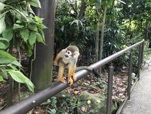 małpa przy singaporezoo zdjęcia royalty free