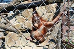 Małpa przy zoo Fotografia Royalty Free