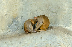 Małpa sen Zdjęcia Stock