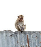 Małpa siedzi Obrazy Royalty Free