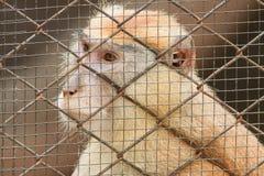 Małpa w klatce Zdjęcie Stock