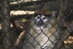 Małpa w klatce w zoo Fotografia Royalty Free