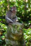 Małpa w lasu parku w Ubud, Bali - Indonezja Zdjęcie Stock