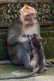 Małpa w lasu parku w Ubud, Bali - Indonezja Fotografia Royalty Free