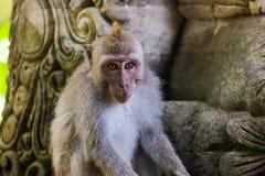 Małpa w lasu parku w Ubud, Bali - Indonezja Obrazy Stock