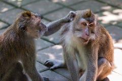 Małpa w lasu parku w Ubud, Bali - Indonezja Obrazy Royalty Free