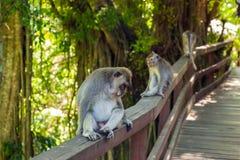 Małpa w lasu parku w Ubud, Bali - Indonezja Zdjęcie Royalty Free