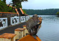 Małpa w Mauritius Obraz Royalty Free