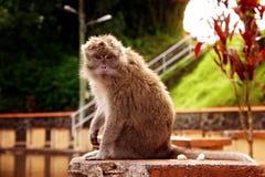 Małpa w naturalnym siedlisku Obrazy Stock