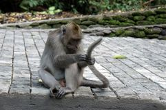Ma?pa w ubud lesie, Bali fotografia royalty free