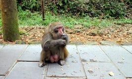 Małpa w Zhangjiajie zdjęcia royalty free
