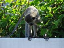 małpa widzi Fotografia Stock