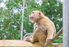 Małpa wyboru koks Zdjęcia Royalty Free