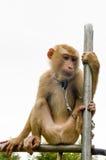 Małpa wyboru koks Obraz Stock