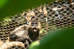 małpa wyjec Zdjęcia Royalty Free