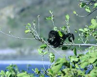małpa wyjec Obrazy Royalty Free