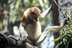 Małpa z nogami otwiera szerokiego zdjęcia stock