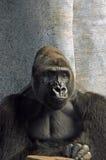małpa zadumana zdjęcia stock