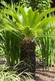 Mała palma Zdjęcia Stock