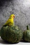 Mała papuga Obrazy Stock