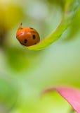 Ma petite coccinelle dans mon jardin Photos libres de droits
