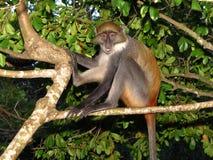 małpi Afrykanina drzewo Obraz Stock