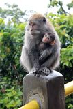 Małpi Bali Zdjęcia Royalty Free