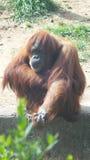 Małpi biznes Fotografia Royalty Free