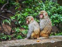 Małpi bracia Zdjęcia Royalty Free