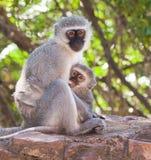 małpi dziecka vervet Obraz Stock