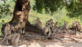 Małpi gang Obraz Royalty Free