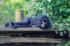 Małpi gibon odpoczywa na drewnianej platformie Obraz Royalty Free