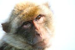 Małpi Gibraltar Portret Obrazy Royalty Free