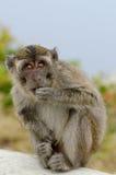 Małpi Gunung Kelimutu Fotografia Stock