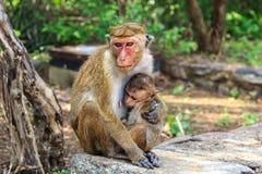 małpi macierzysty karmienie jej dziecko w tropikalnym lesie deszczowym Zdjęcie Royalty Free