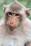 Małpi makak Zdjęcie Royalty Free