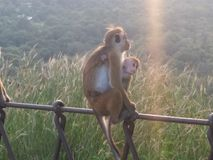 Małpi MomLove Fotografia Royalty Free