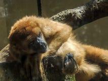 Małpi muriqui robi sul Zdjęcia Royalty Free