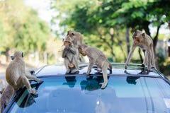 małpi niegrzeczny Fotografia Royalty Free