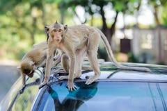 małpi niegrzeczny Zdjęcie Royalty Free