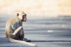 małpi niegrzeczny Obraz Royalty Free