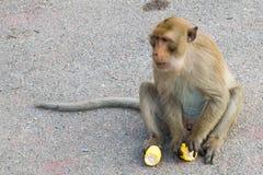 małpi obsiadanie i eatting kukurudza Zdjęcia Stock