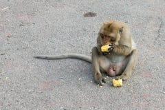 małpi obsiadanie i eatting kukurudza Zdjęcie Royalty Free