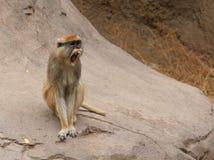 małpi patas Obrazy Stock
