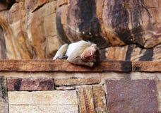 małpi pokojowy dosypianie zdjęcia royalty free