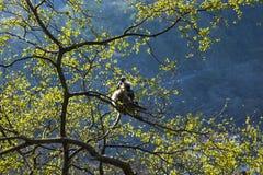 Małpi, popielaty langur obsiadanie na drzewie w Rishikesh, India Fotografia Royalty Free