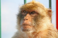Małpi portret Zdjęcia Stock