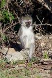 małpi potomstwa Obrazy Royalty Free