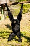 małpi rhesus Obrazy Royalty Free
